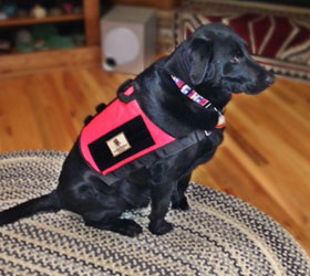 ForceK9.com MOLLE K9 Vest Customer Bear,  Black Labrador