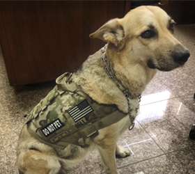 ForceK9.com MOLLE K9 Vest Customer Bella, German Shepard