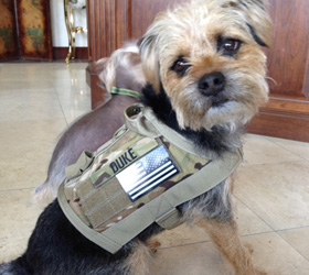 ForceK9.com MOLLE K9 Vest Customer Duke, Border Terrier