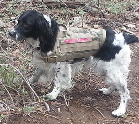 ForceK9.com MOLLE K9 Vest Customer Honey, English Springer Spaniel