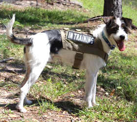ForceK9.com MOLLE K9 Vest Customer Jack, Chinese Crested/Beagle