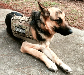 ForceK9.com MOLLE K9 Vest Customer Magnus, German Shepard