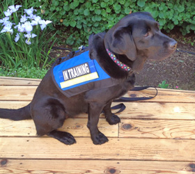 ForceK9.com MOLLE K9 Vest Customer Nia, Black Labrador