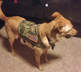ForceK9.com MOLLE K9 Vest Customer Otto, Golden Retriever