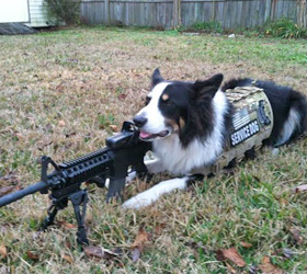ForceK9.com MOLLE K9 Vest Customer Ranger, Border Collie
