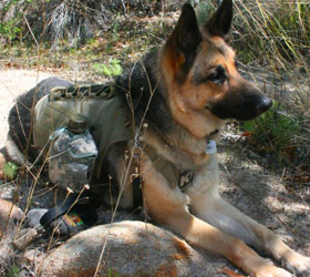 ForceK9.com MOLLE K9 Vest Customer Rudy, German Shepard