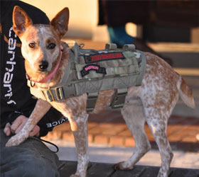 ForceK9.com MOLLE K9 Vest Customer Shotgun, Heeler