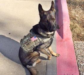 ForceK9.com MOLLE K9 Vest Customer Smokey,  German Shepard