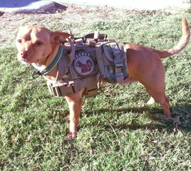 ForceK9.com MOLLE K9 Vest Customer Tanner, Chihuahua Mix