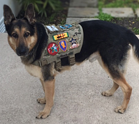 ForceK9.com MOLLE K9 Vest Customer Toby, German Shepard