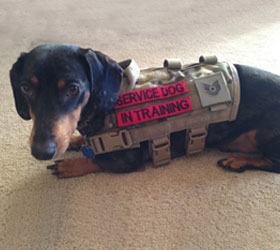 ForceK9.com MOLLE K9 Vest Customer Whisper, Dachshund